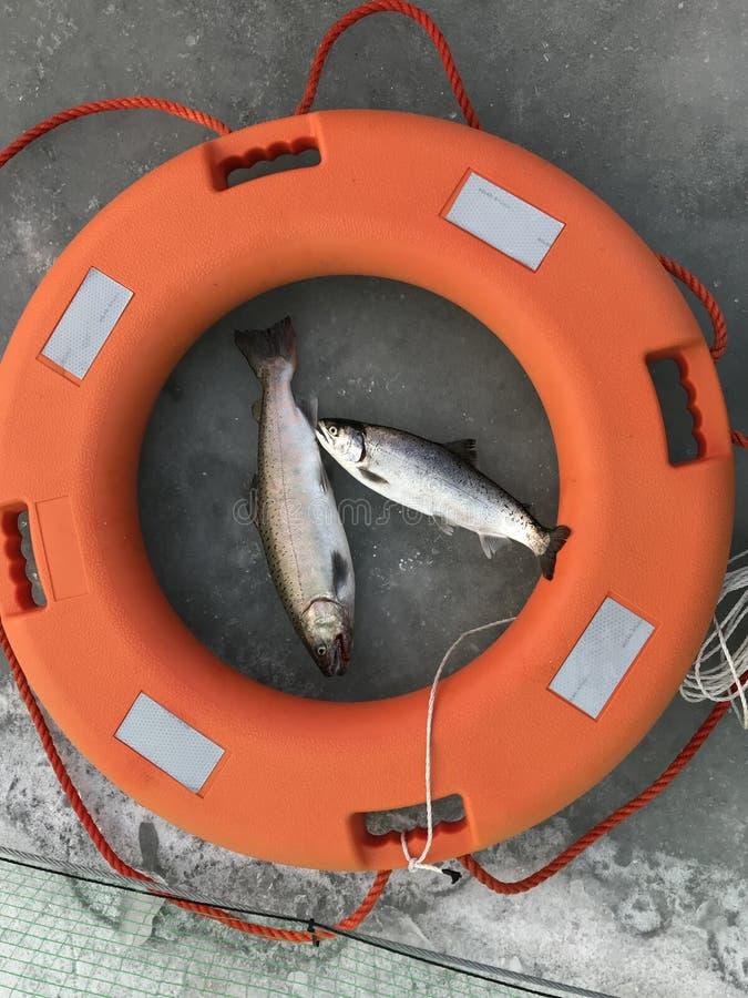 Duas trutas travaram durante o festival da pesca do gelo de Hwacheon, Coreia imagem de stock