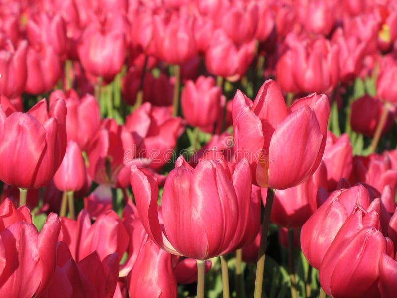 Duas tulipas fotos de stock