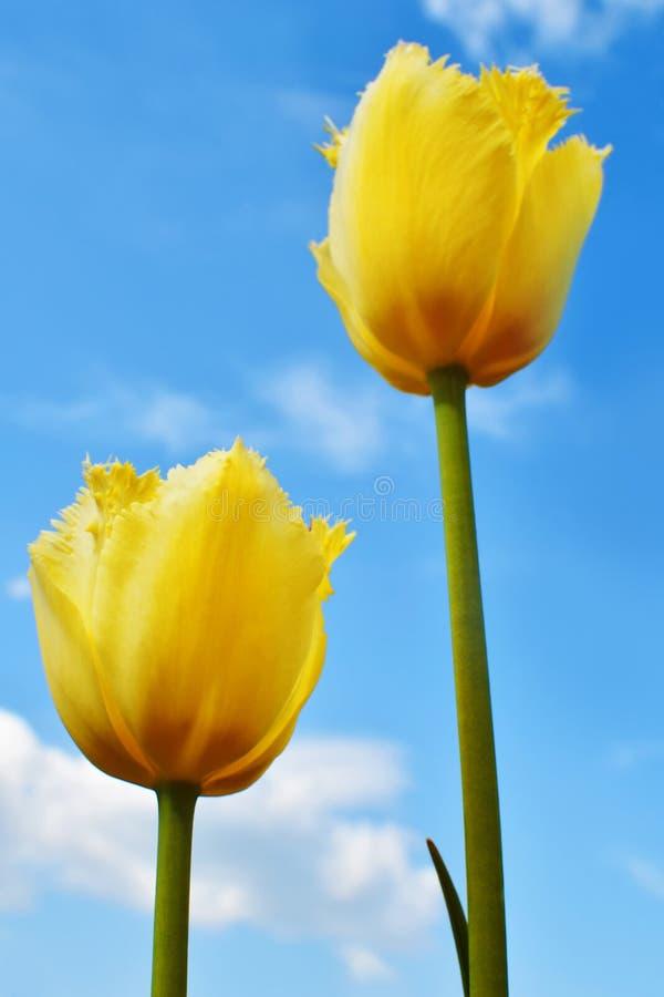 Duas tulipas amarelas contra o céu nebuloso azul foto de stock royalty free