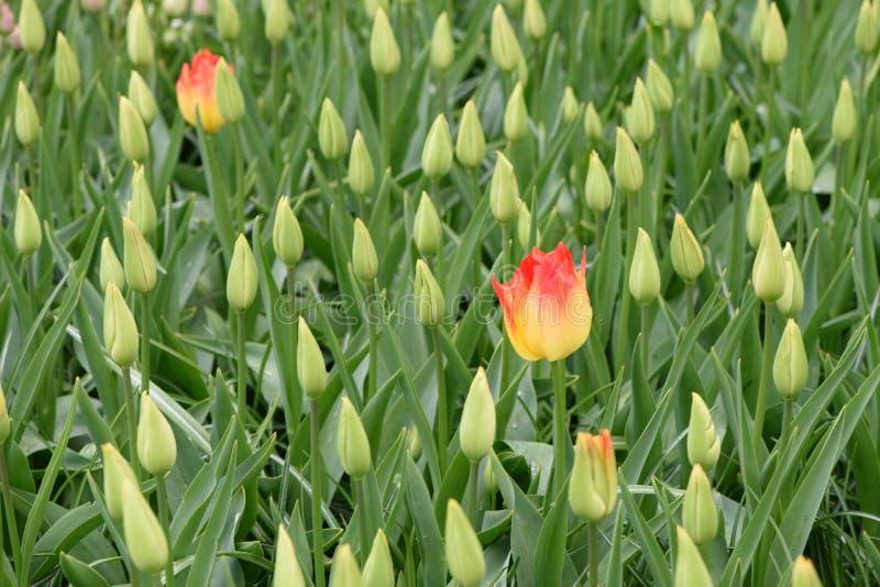 Duas tulipas amarelas estão crescendo em um campo com tulipas imaturas imagens de stock