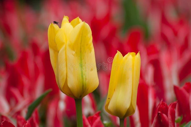duas tulipas amarelas no tulipas vermelhas colocam fotos de stock royalty free