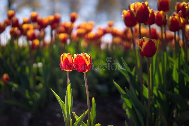 Duas tulipas, aparentemente um par novo, na frente de uma cerimônia ou foto de stock