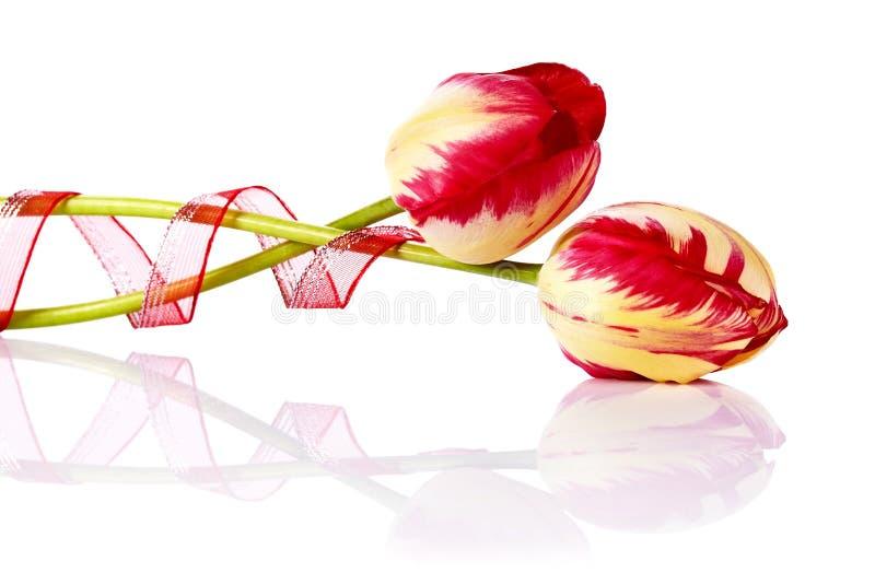 Duas tulipas com uma burocracia. fotos de stock