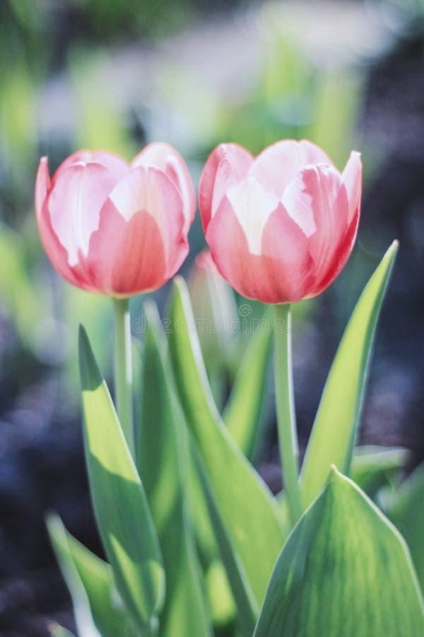 Duas tulipas cor-de-rosa-vermelhas delicadas em um fundo verde florescem no jardim fotografia de stock royalty free
