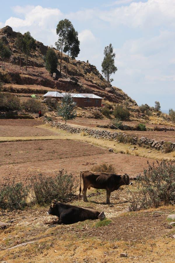 Duas vacas em um campo imagens de stock royalty free