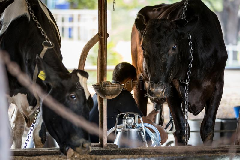 Duas vacas na exploração agrícola de leiteria e em um homem estão ordenhando a vaca preta fotos de stock royalty free
