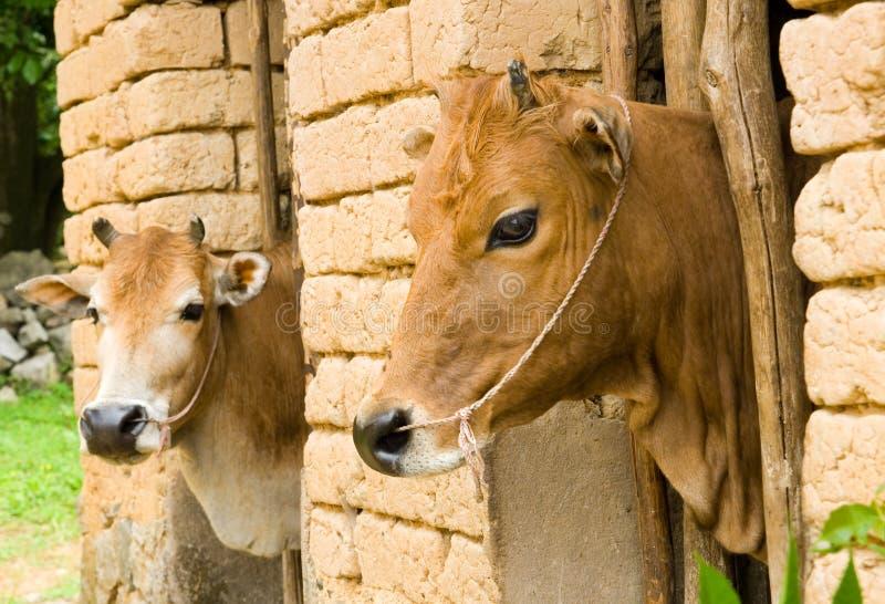 Duas vacas na tenda rural tradicional - Yangshuo imagem de stock