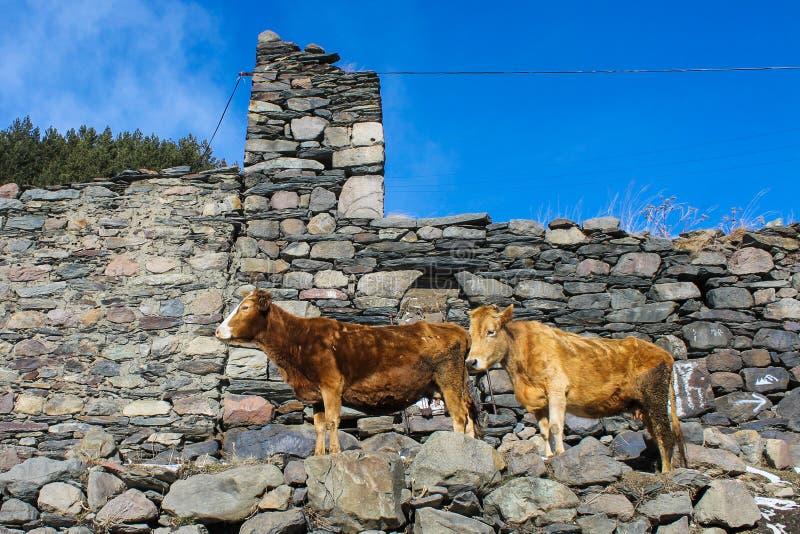 duas vacas perto da cerca de pedra imagem de stock