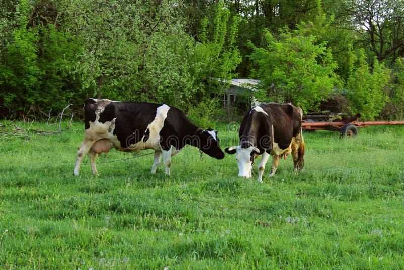 Duas vacas que estão no pasto da exploração agrícola Disparado de um rebanho do gado em uma exploração agrícola de leiteria imagem de stock royalty free