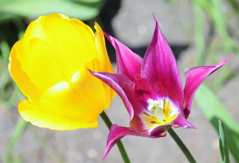 Duas variações do amarelo ou do roxo da tulipa fotografia de stock