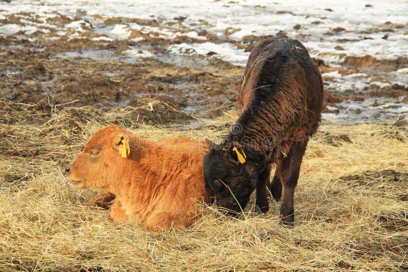 Duas vitelas fotografia de stock royalty free