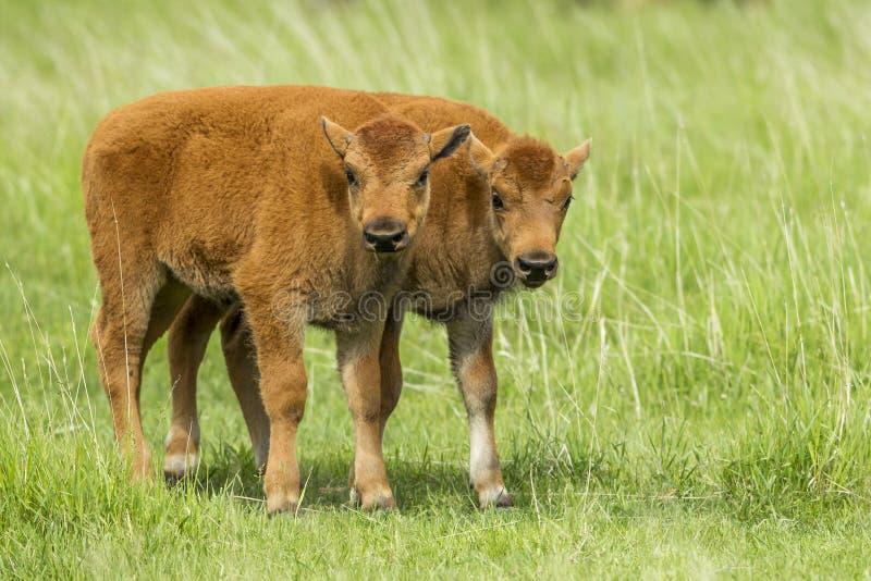 Duas vitelas do bisonte em um campo fotos de stock royalty free