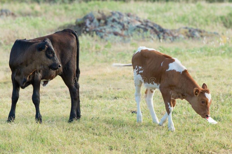 Duas vitelas do longhorn que comem a grama de pradaria fotos de stock