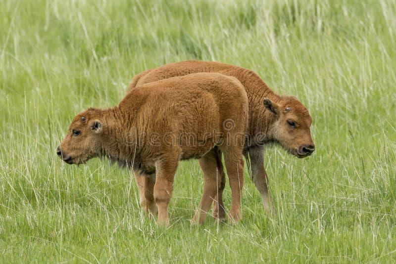 Duas vitelas pequenas do bisonte que estão no campo fotografia de stock
