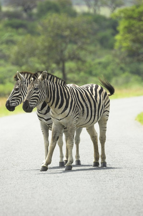 Duas zebras fotos de stock