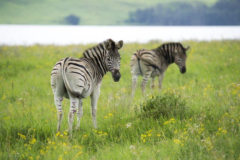 Duas zebras ao lado de um lago fotografia de stock royalty free
