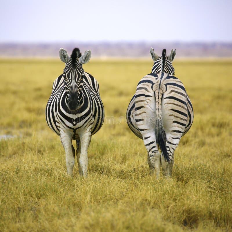Duas zebras de Etosha NP na composição quadrada imagens de stock royalty free