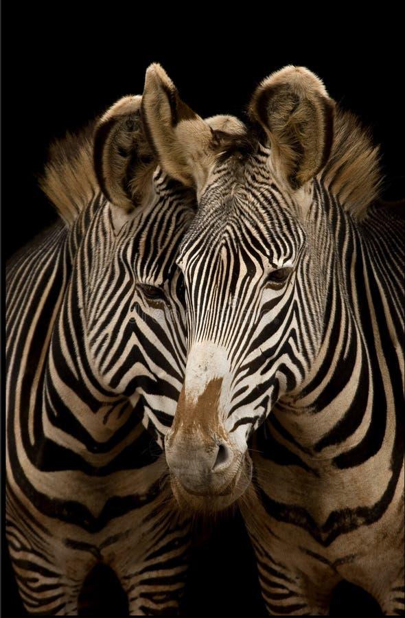 Duas zebras de Grevy fotos de stock