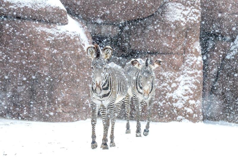 Duas zebras em um blizzard fotografia de stock royalty free