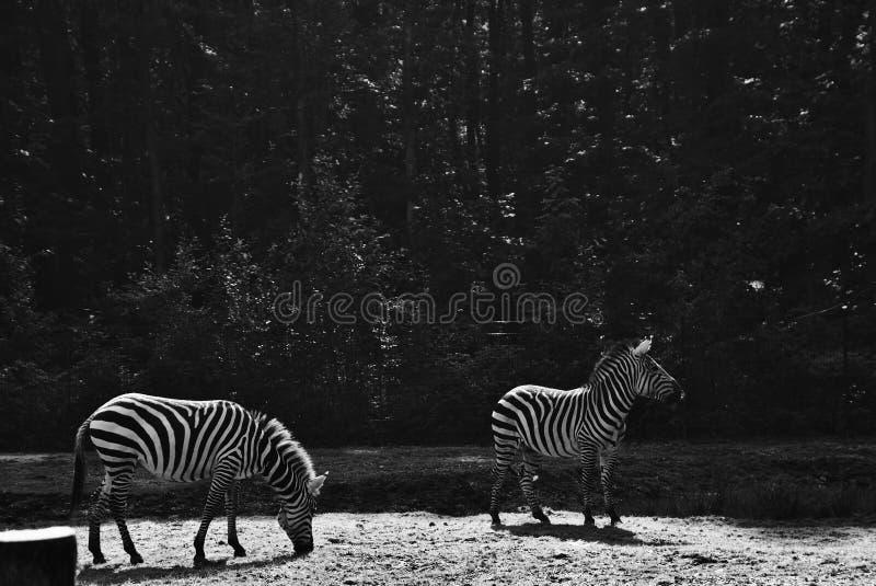 Duas zebras no jardim zoológico fotos de stock