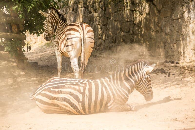 Duas zebras no jardim zoológico foto de stock royalty free
