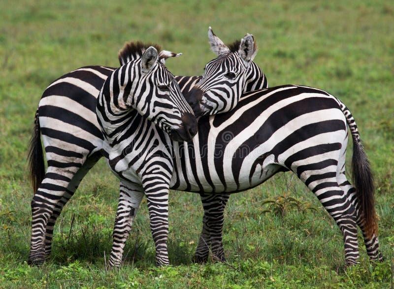 Duas zebras que jogam um com o otro kenya tanzânia Parque nacional serengeti Maasai Mara fotos de stock royalty free