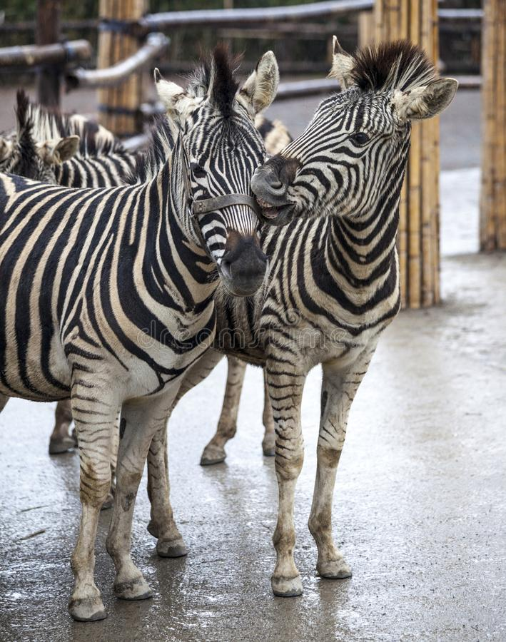 Duas zebras Uma família das zebras está de lado a lado Close-up das zebras Zebra africana foto de stock