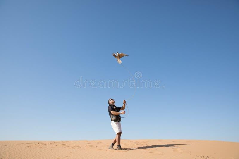Dubaï, Emirats Arabes Unis - 2 décembre 2016 Un faucon pendant une formation de fauconnerie dans le désert attrapant un attrait photos libres de droits