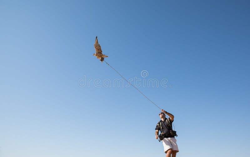 Dubaï, Emirats Arabes Unis - 2 décembre 2016 Un faucon pendant une formation de fauconnerie dans le désert attrapant un attrait image stock