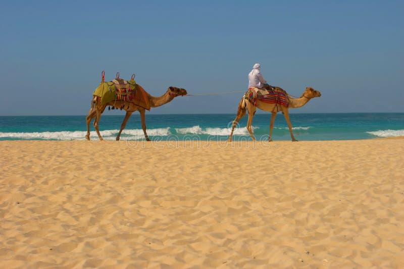 Download DUBAI BEACH stock image. Image of middle, animal, camel - 3735129
