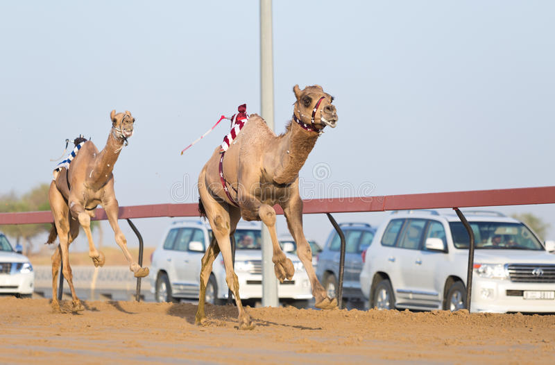 Dubai camel racing club camels racing with radio jockey editorial download dubai camel racing club camels racing with radio jockey editorial stock image image of altavistaventures Choice Image