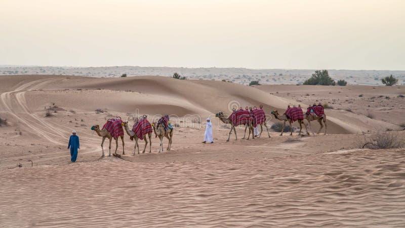 Dubai UAE - Juni 1, 2013: Husvagn med kamel i den arabiska öknen royaltyfria bilder