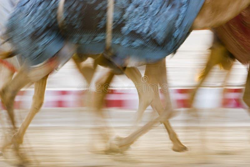 Dubai UAE verwischte Bewegung von den Kamelen, die während des Trainings an Nad Al Sheba Camel Racetrack laufen stockfotos
