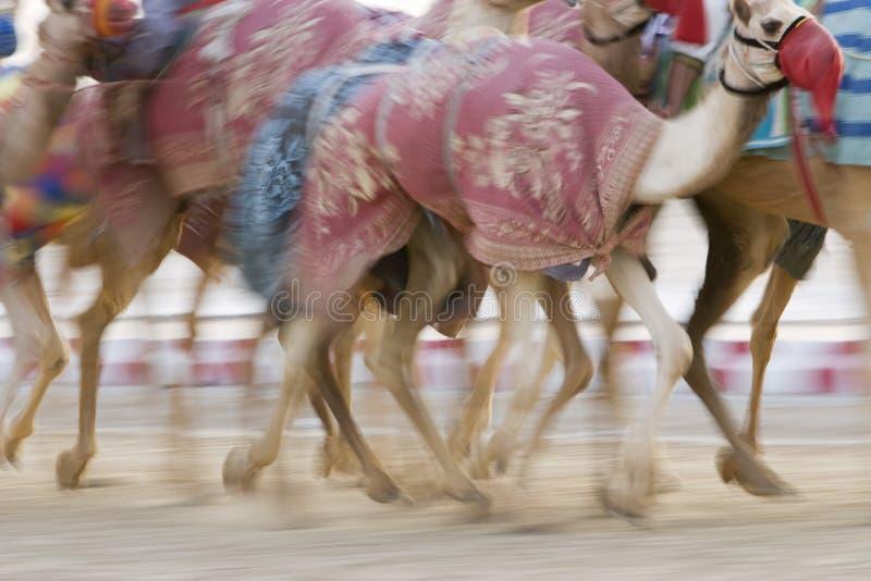 Dubai UAE verwischte Bewegung von den Kamelen, die während des Trainings an Nad Al Sheba Camel Racetrack laufen stockfoto