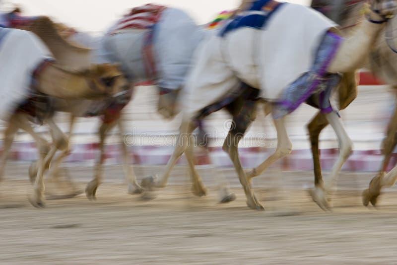 Dubai UAE verwischte Bewegung von den Kamelen, die während des Trainings an Nad Al Sheba Camel Racetrack laufen stockbilder