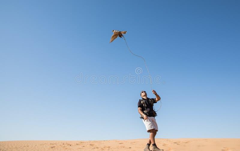 Dubai, United Arab Emirates - 2 de diciembre de 2016 Un halcón durante un entrenamiento de la cetrería en el desierto que coge un imagen de archivo libre de regalías