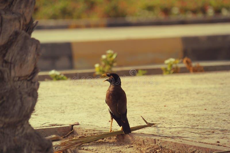DUBAI-UNITED ARAB EMIRATES ON 21 JUNE 2017 . Most publer bird with open peak in UAE. DUBAI-UNITED ARAB EMIRATES ON 21 JUNE 2017. . Most publer bird with open royalty free stock photos