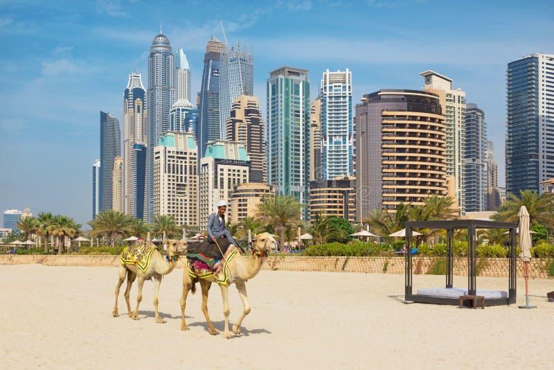 DUBAJ, UAE - MARZEC 28, 2017: Marina góruje i wielbłądy na plaży zdjęcia royalty free