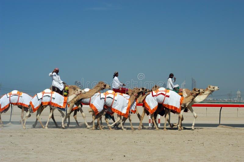 Dubaju wielbłądzia race obraz royalty free