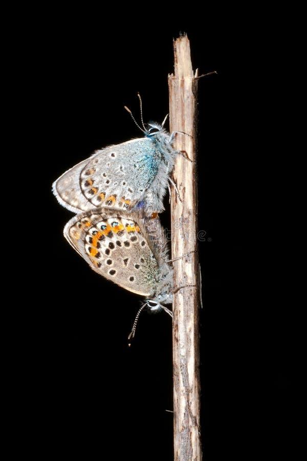dubbad argus blå plebejussilver fotografering för bildbyråer