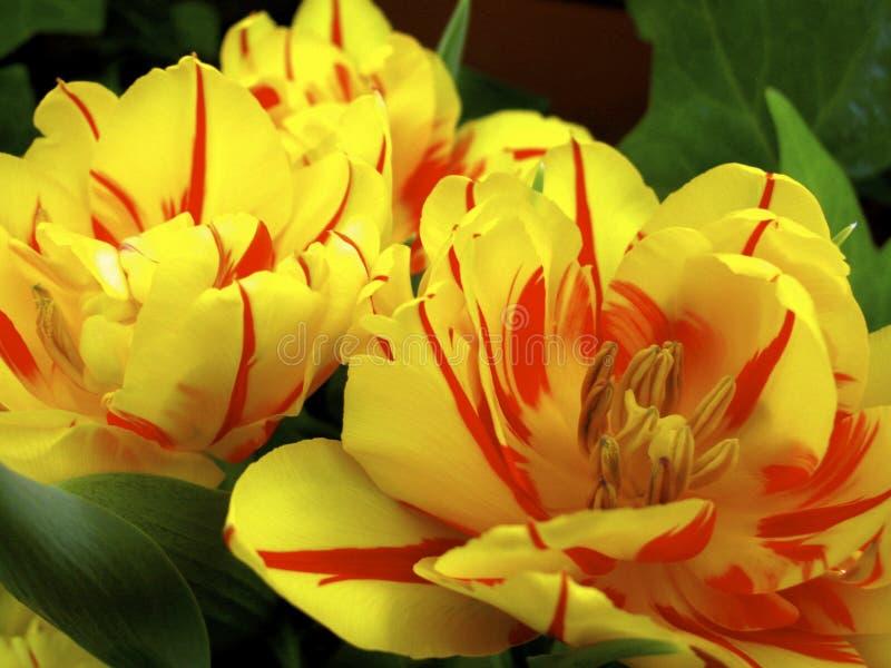 Dubbel blomtulpan royaltyfria foton