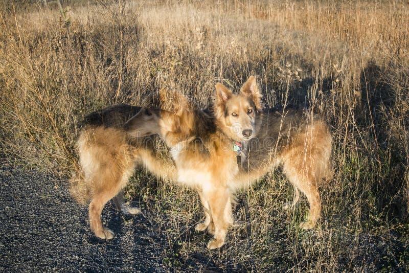 Dubbel exponering av en Husky Colley hund arkivbilder