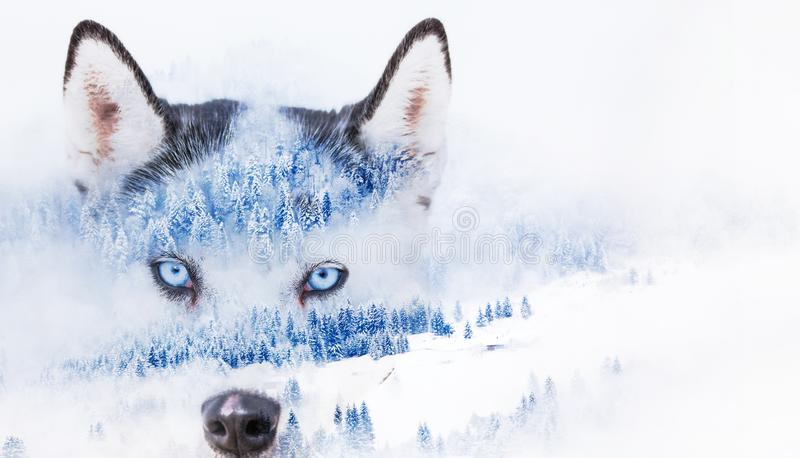 Dubbel exponering av huskiögon och snöbränder i skummande vinterlandskap. royaltyfri foto