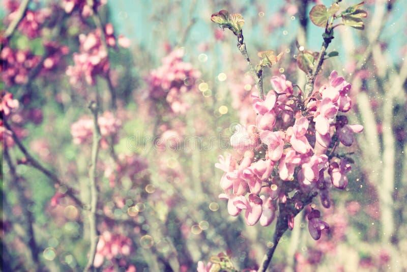 Dubbel exponering av trädet för körsbärsröda blomningar för vår abstrakt bakgrund det drömlika begreppet med blänker samkopiering royaltyfri fotografi