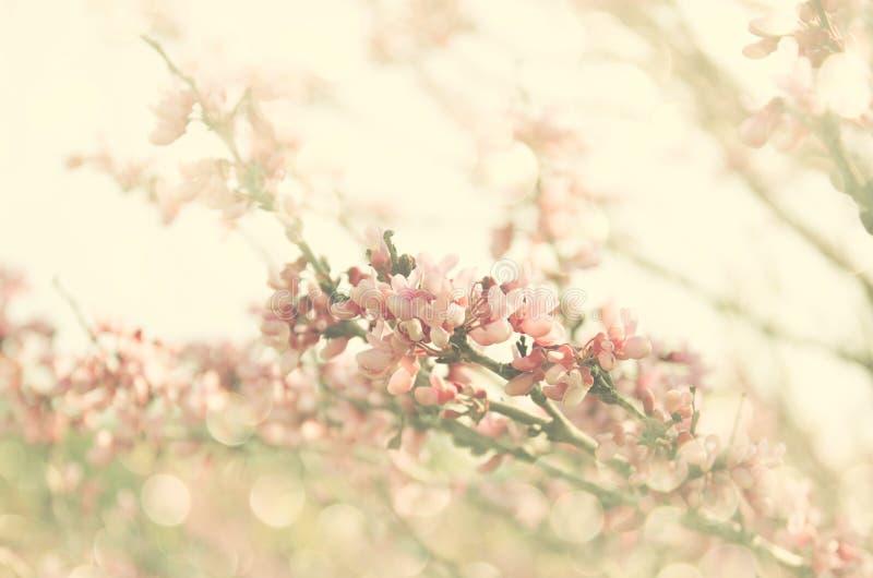 Dubbel exponering av trädet för körsbärsröda blomningar för vår abstrakt bakgrund det drömlika begreppet med blänker samkopiering royaltyfri bild