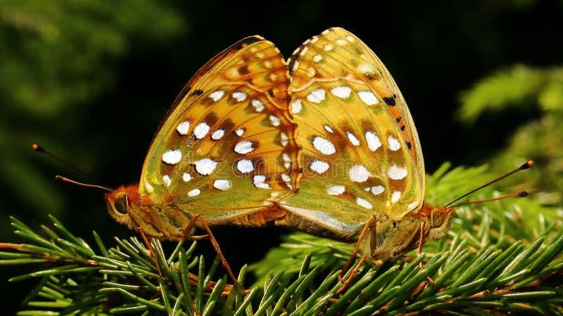 Dubbel fjärilsmirakelgåta 2 fotografering för bildbyråer