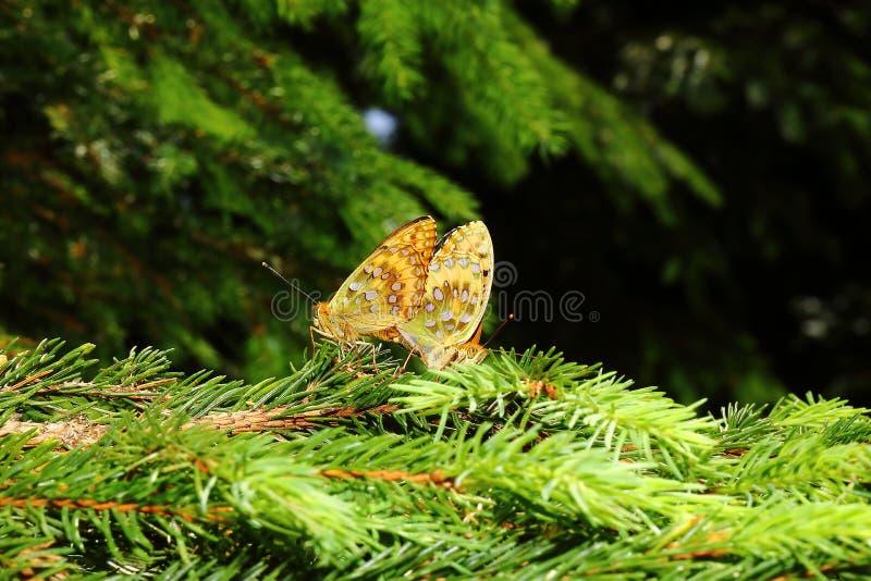 Dubbel fjärilsmirakelgåta 1 arkivfoto