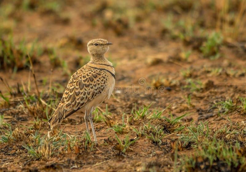 Dubbel-gestreept courser een vogel in het Zuidafrikaanse landschap royalty-vrije stock foto's