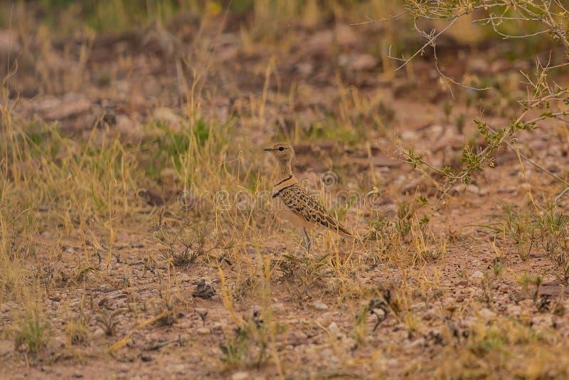 Dubbel-gestreepte Courser Rhinoptilus Africanus royalty-vrije stock afbeeldingen