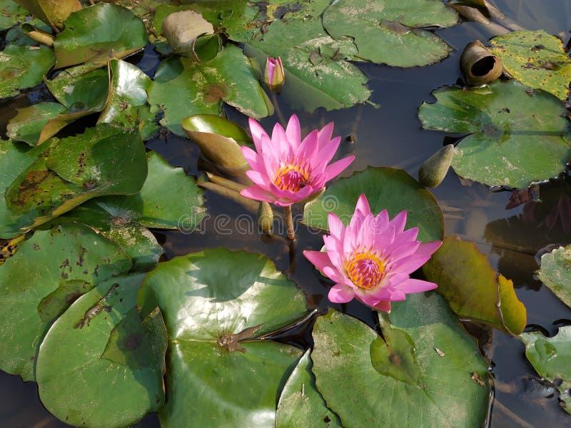 Dubbel Lotus van de Botanische Tuin van Bogor royalty-vrije stock afbeelding